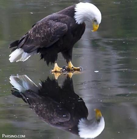 عکس عقاب , عکس های عقاب , تصاویر عقاب , عقاب های بزرگ