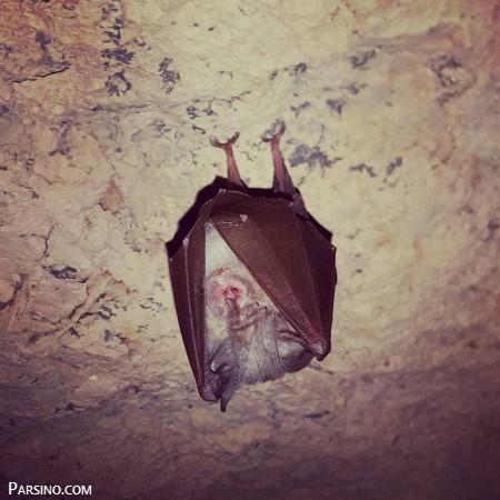 تصاویر خفاش در شب , عکس های خفاش , عکس بزرگترین خفاش دنیا