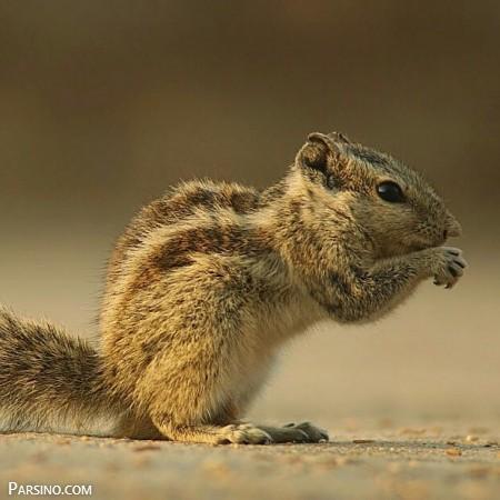 تصاویر سنجاب , عکس های سنجاب , گونه های سنجاب , سنجاب بامزه