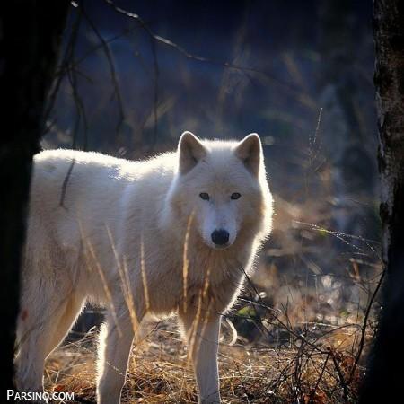 تصاویر گرگ وحشی , عکس های گرگ , گرگ های زیبا , عکس گرگ خشمگین