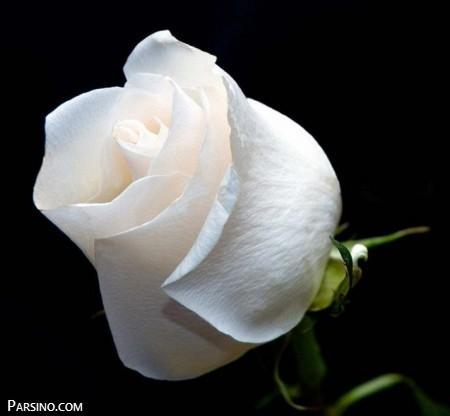 گل رز , گل رز سفید , عکس گل رز سفید ,گل سفید
