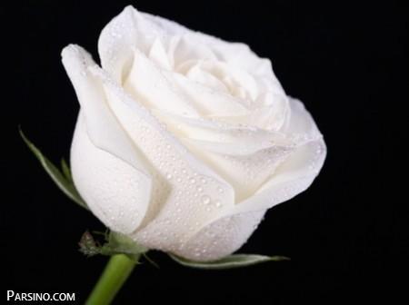 گل , عکس گل رز سفید , گل رز سفید