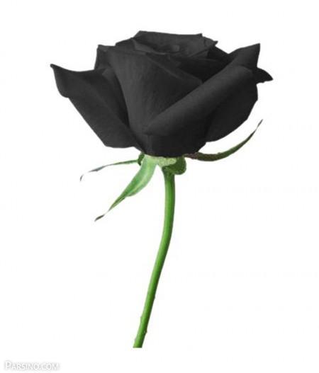 رز سیاه , گل رز سیاه , عکس رز سیاه , تصویر گل رز سیاه , گل رز مشکی