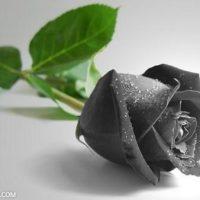 گالری عکس های زیبا از گل رز سیاه