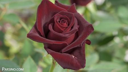 عکس گل , گل رز , عکس رز سیاه , تصویر گل رز سیاه , گل رز مشکی