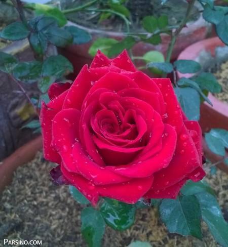 گل رز , گل رز قرمز , عکس گل رز قرمز , عکس گل رز قرمز عاشقانه , Red rose photo
