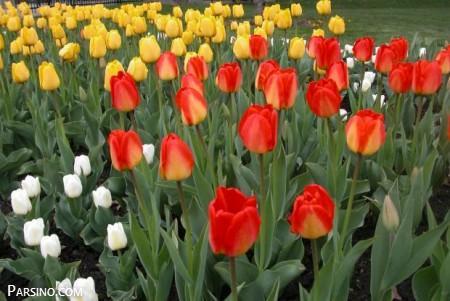 گل لاله , گل لاله سفید , تصاویر گل لاله , گل لاله قرمز , گل لاله زیبا