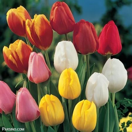 گل لاله , عکس گل لاله , گل لاله قرمز , گل لاله صورتی , گل لاله سرخ