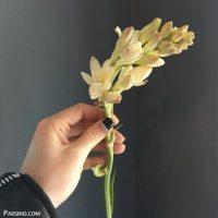 گالری تصاویر و عکس های گل مریم