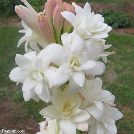 گل مریم , عکس گل مریم , گل مریم زیبا , گل مریم عکس , گل