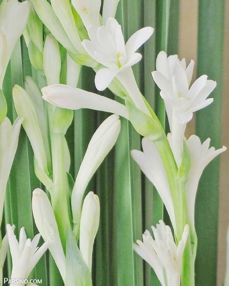 گل مریم , عکس گل مریم , گل مریم زیبا , گل مریم عکس , گل سفید