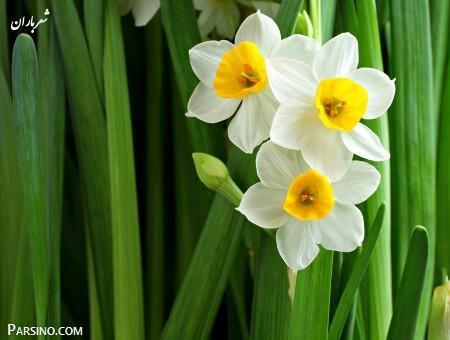 گل نرگس , عکس گل نرگس , گیاه گل نرگس