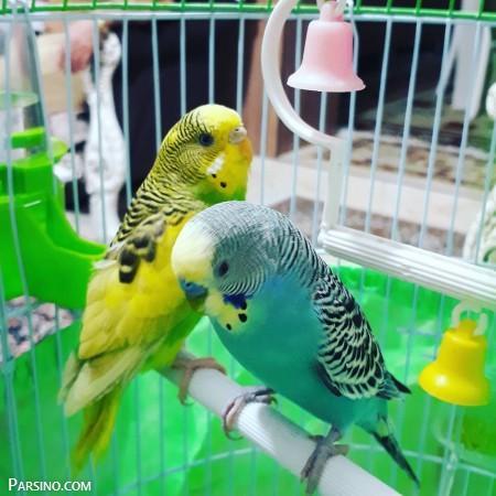 مرغ عشق , عکس های مرغ عشق , جنسیت و روش نگه داری مرغ عشق , lvy uar