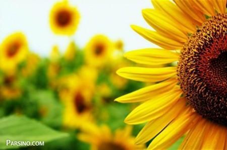 عکس گل برای پروفایل , پروفایل گل زیبا , عکس پروفایل گل رز