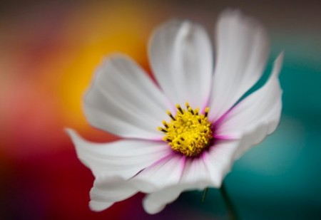 عکس یک گل سفید بزرگ زیبا