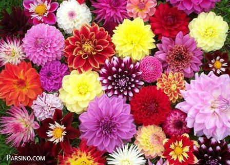 عکس گل برای پروفایل , پروفایل گل زیبا