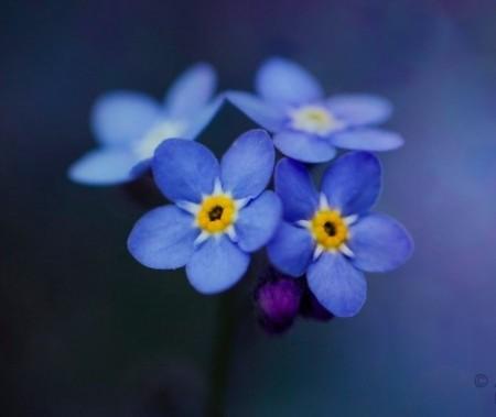 دانلود عکس گل آبی فوق العاده زیبا