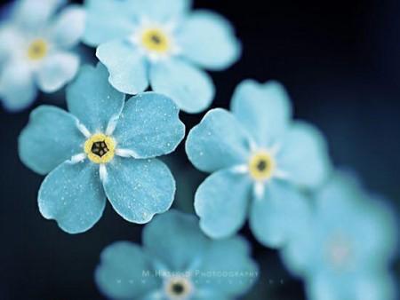 عکس گل فیروزه ای برای پروفایل زیبا