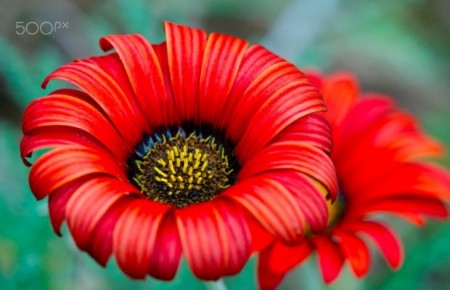 دانلود عکس تک گل قرمز زیبا پروفایل