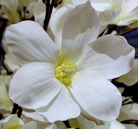 دانلود گل سفید رنگ برای پروفایل
