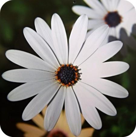 گل سفید رنگ