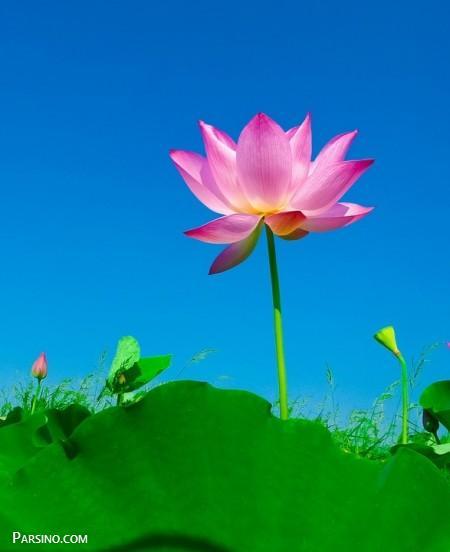 عکس گل نیلوفر , عکس گل نیلوفر آبی , عکس گل نیلوفر برای پروفایل