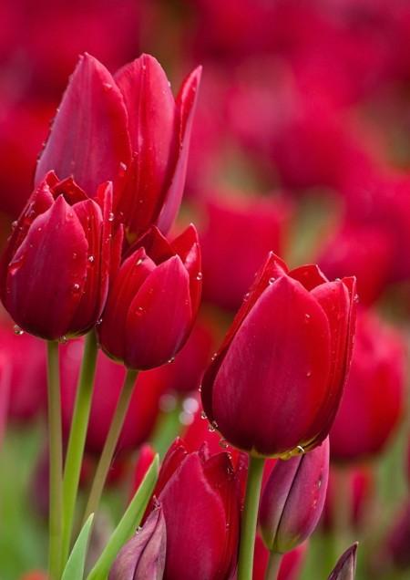 عکس گل لاله قرمز جذاب