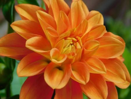 عکس گل نارنجی قشنگ